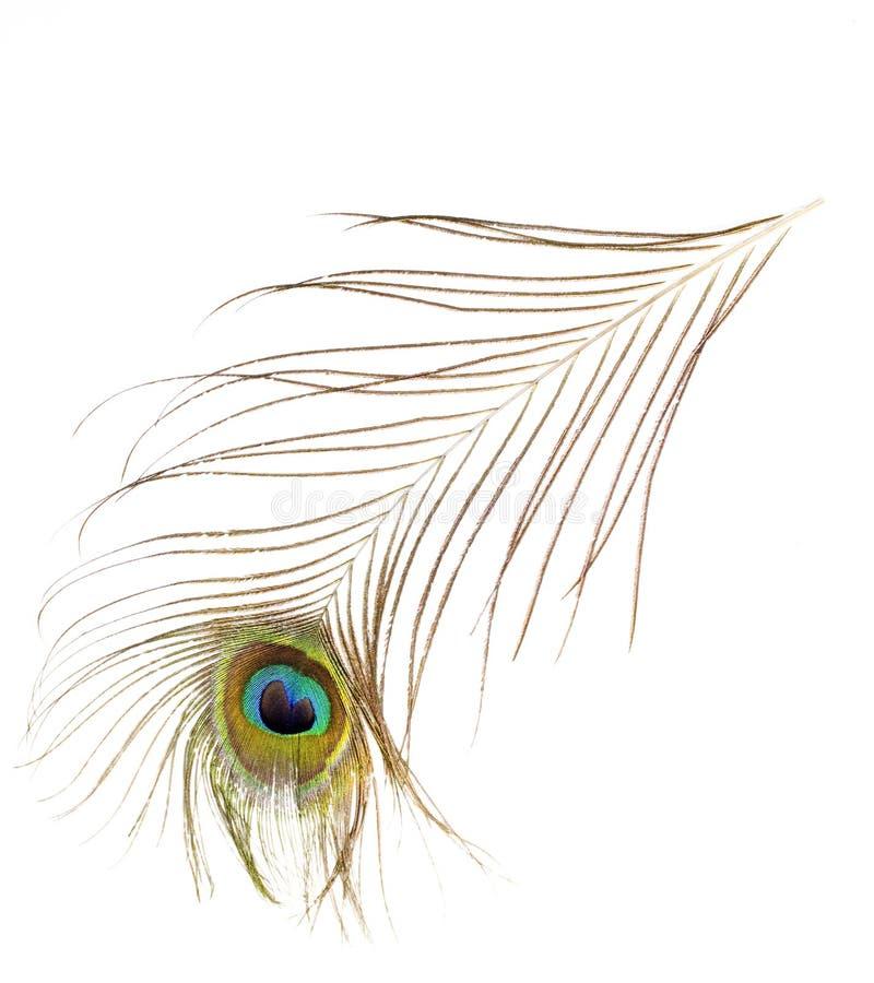 белизна павлина пера предпосылки стоковое фото