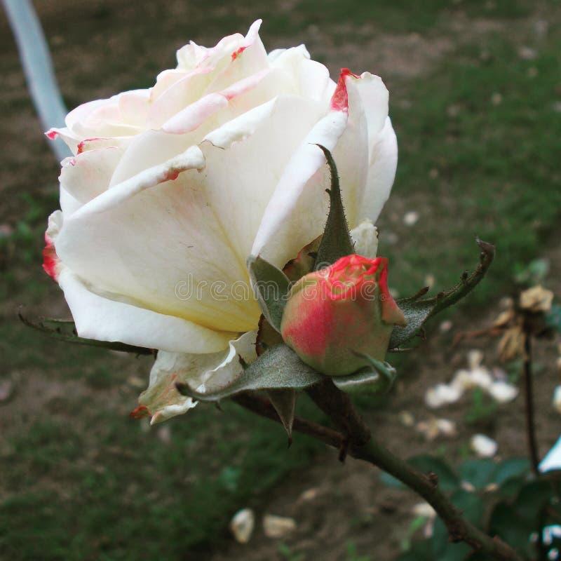 Белизна пинка n очищенности влюбленности стоковое изображение rf