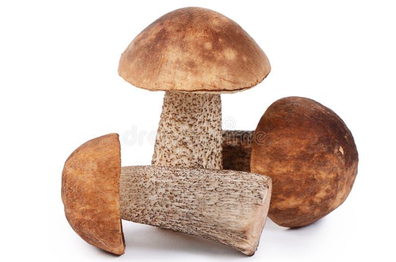 белизна подосиновика коричневой изолированная крышкой стоковое изображение rf