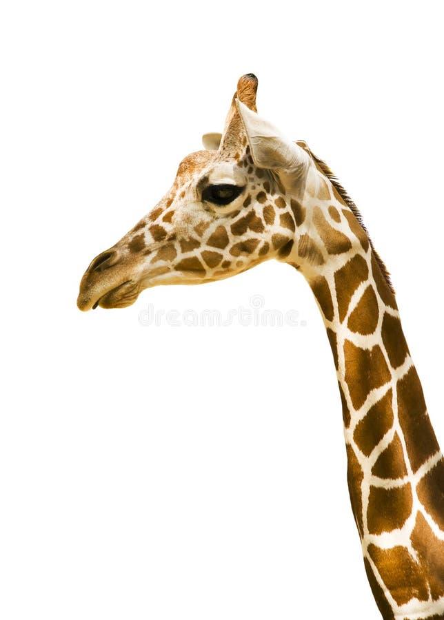 белизна предпосылки изолированная giraffe стоковые фотографии rf