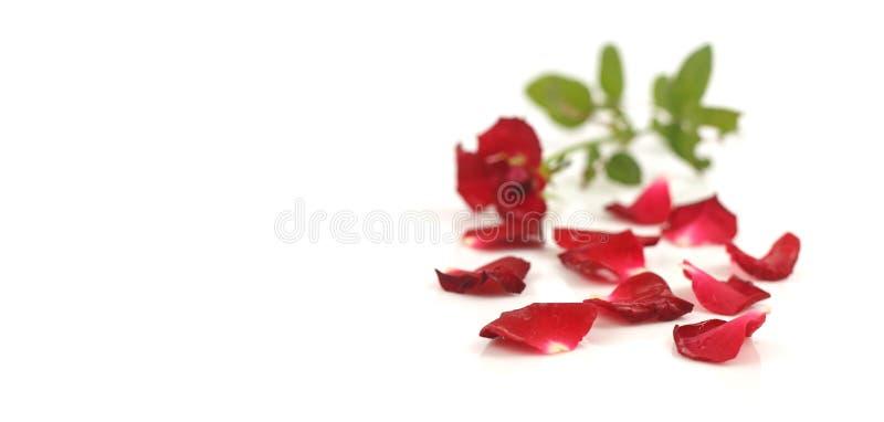 белизна розы красного цвета лепестков стоковые фото
