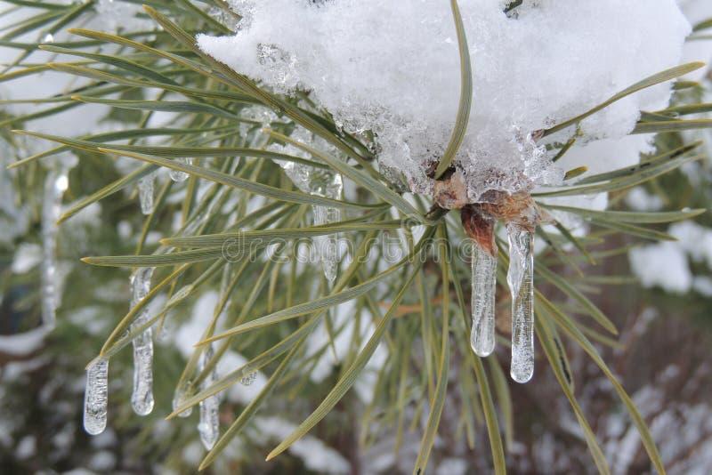 Белизна снега на зеленой ветви спруса в саде стоковая фотография rf