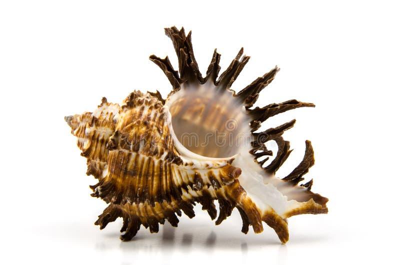 белизна студии съемки seashell предпосылки стоковая фотография