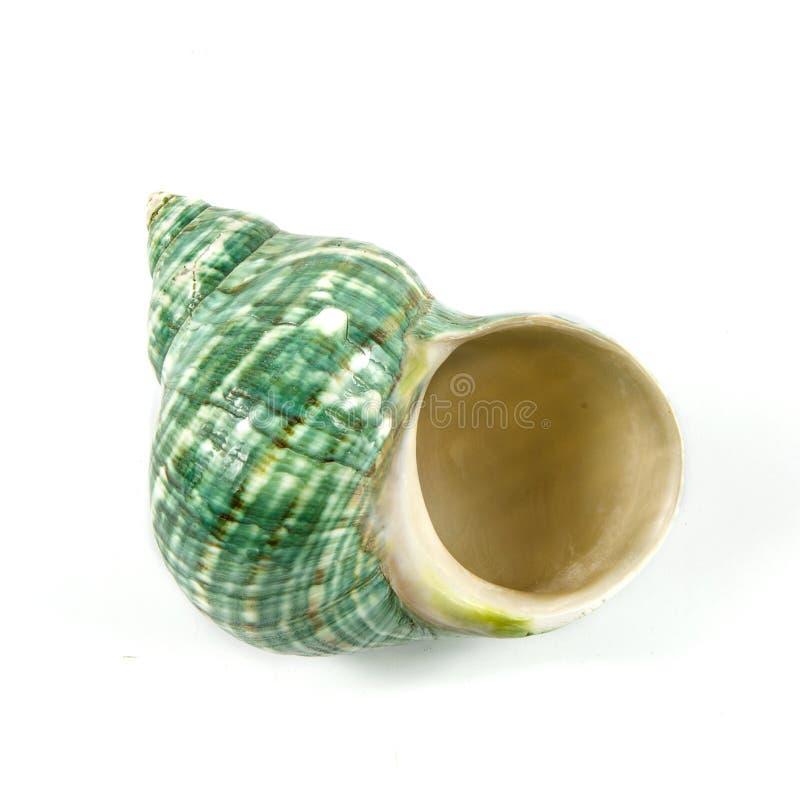 белизна студии съемки seashell предпосылки стоковая фотография rf