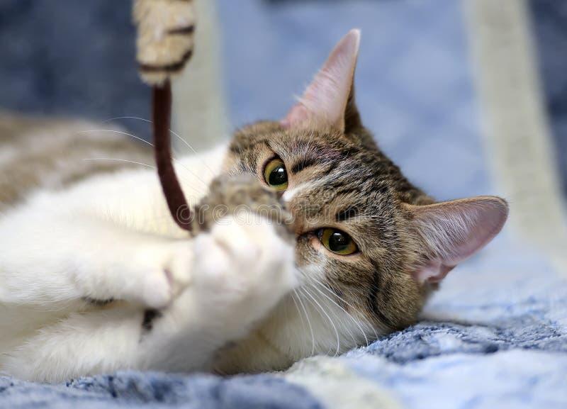 Белизна с коричневым котом стоковое изображение