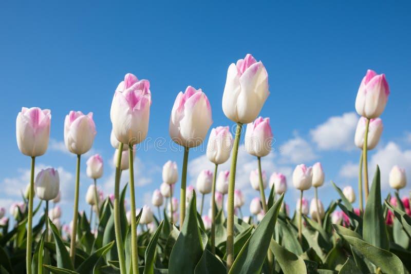 Белизна с розовыми тюльпанами в поле с голубым небом выше стоковые фото