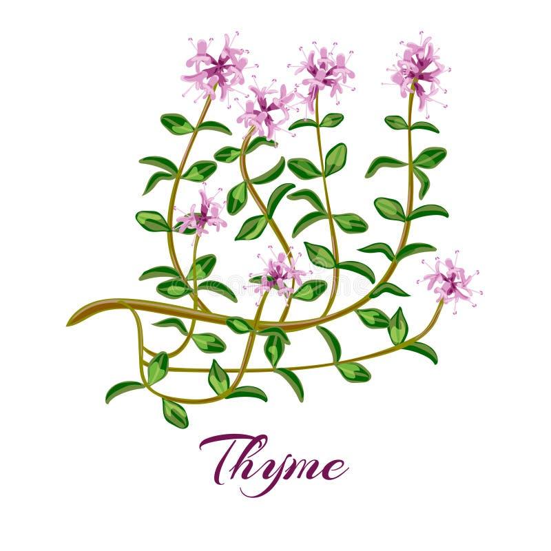 белизна тимиана иллюстрации предпосылки цветя Трава тимиана иллюстрация вектора