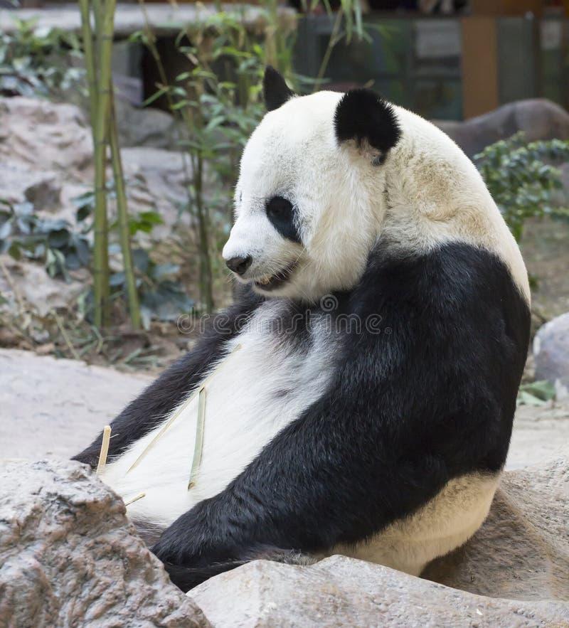 белизна типа панды иллюстрации шаржа медведя предпосылки стоковые изображения