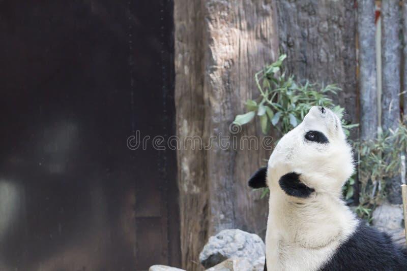 белизна типа панды иллюстрации шаржа медведя предпосылки стоковое изображение rf