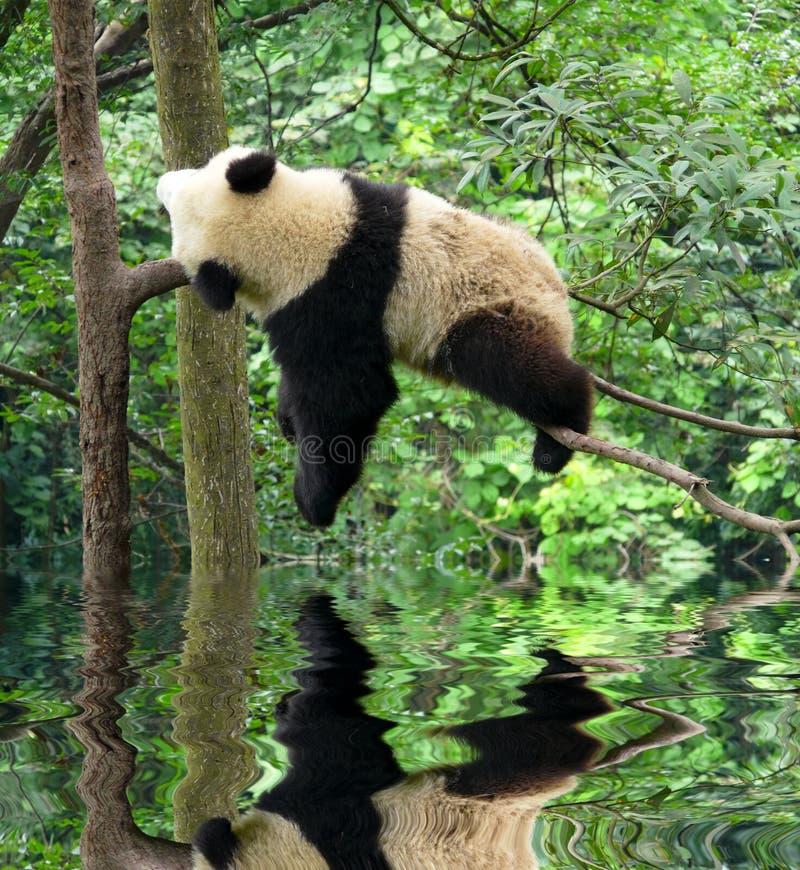 белизна типа панды иллюстрации шаржа медведя предпосылки стоковое фото