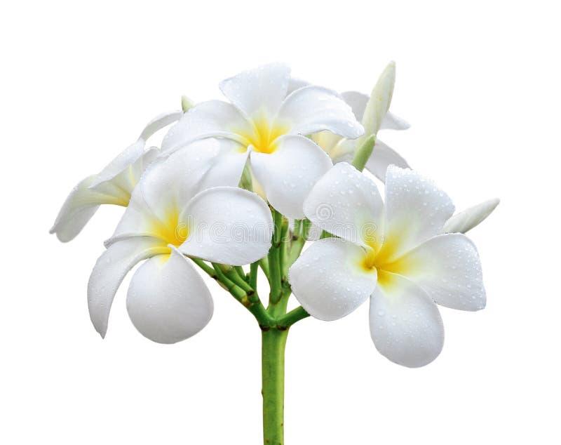 белизна цветка изолированная frangipani стоковое изображение
