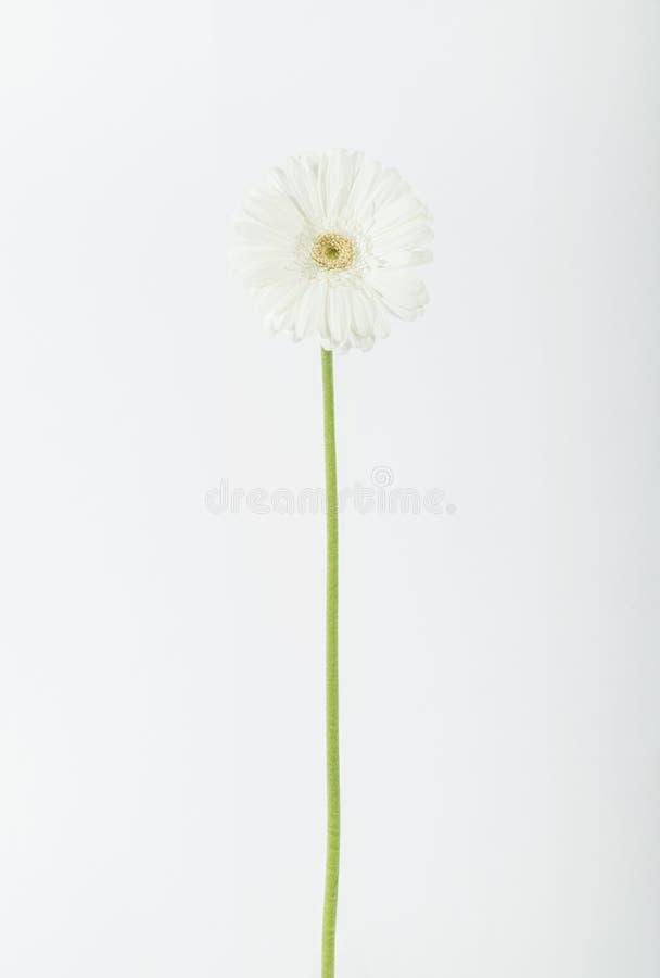 белизна цветка одиночная стоковая фотография