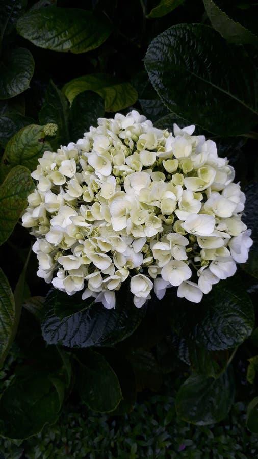 белизна цветка стоковая фотография rf