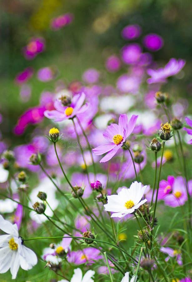 белизна цветков розовая стоковые изображения