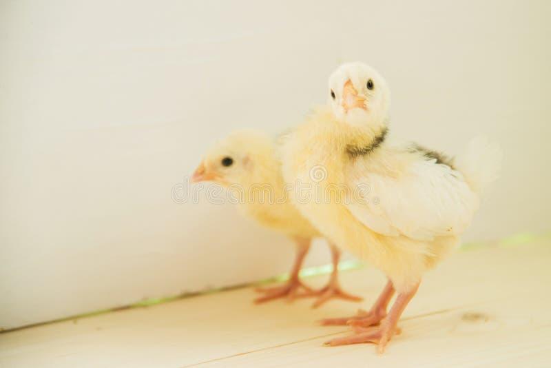 белизна цыпленка предпосылки стоковые фотографии rf