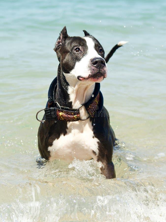 белизна черной собаки стоковые изображения