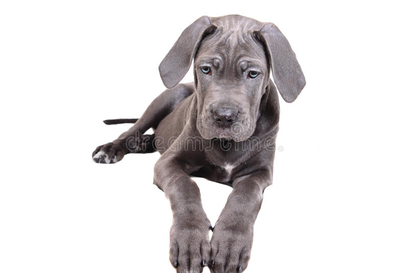белизна щенка corso тросточки предпосылки стоковое изображение