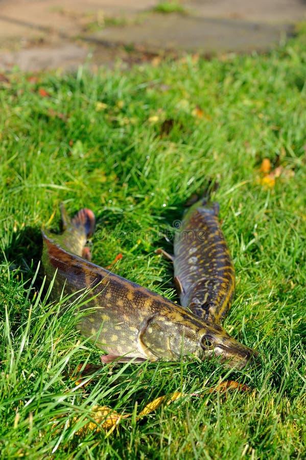 белизна щуки lucius esox предпосылки изолированная рыбами стоковые изображения