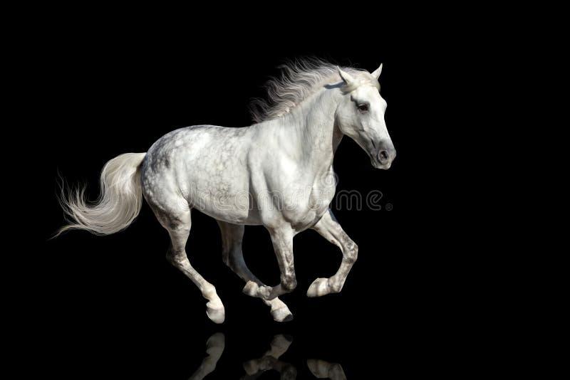 белизна gallop побежали лошадью, котор стоковые фотографии rf