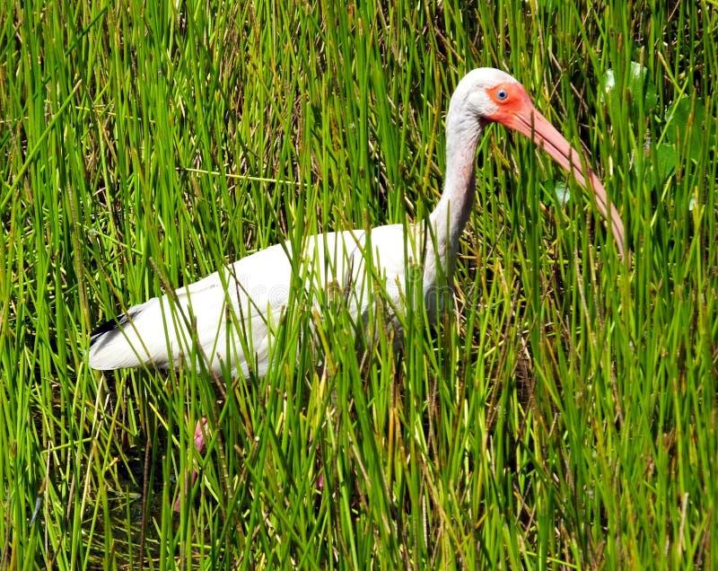 белизна ibis eudocimus albus стоковое фото rf