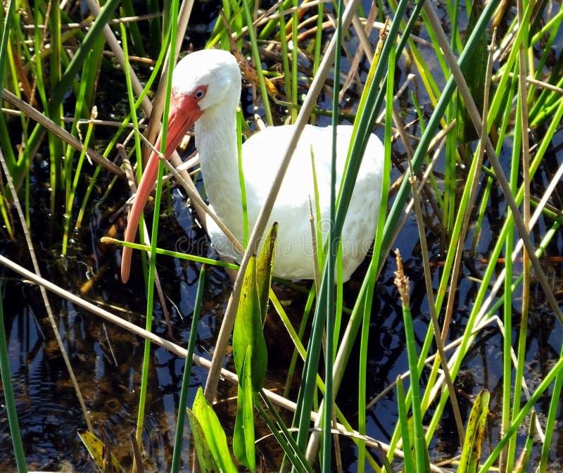 белизна ibis eudocimus albus стоковые изображения