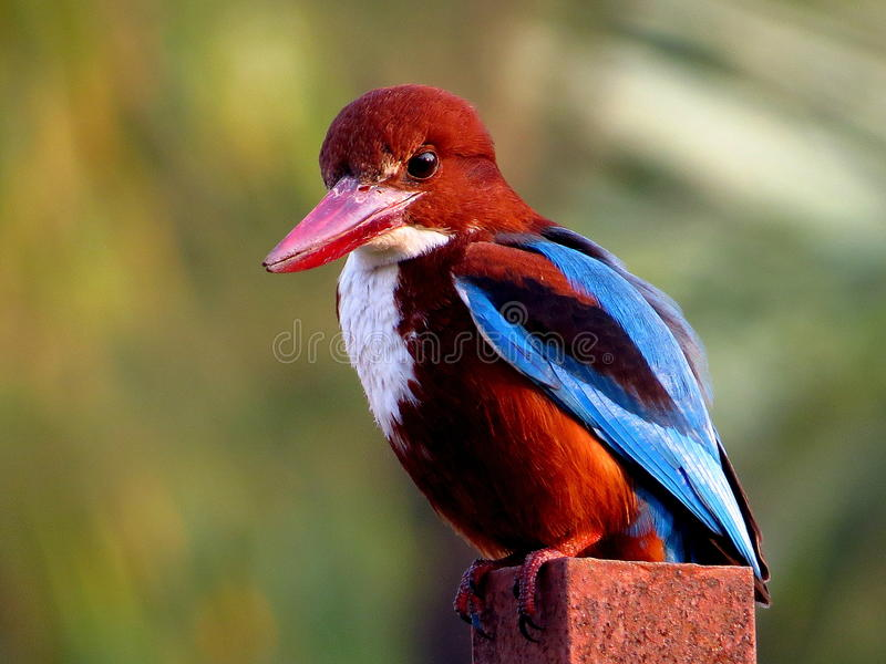 белизна kingfisher throated стоковое изображение rf