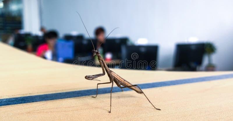 белизна mantis предпосылки моля стоковые изображения