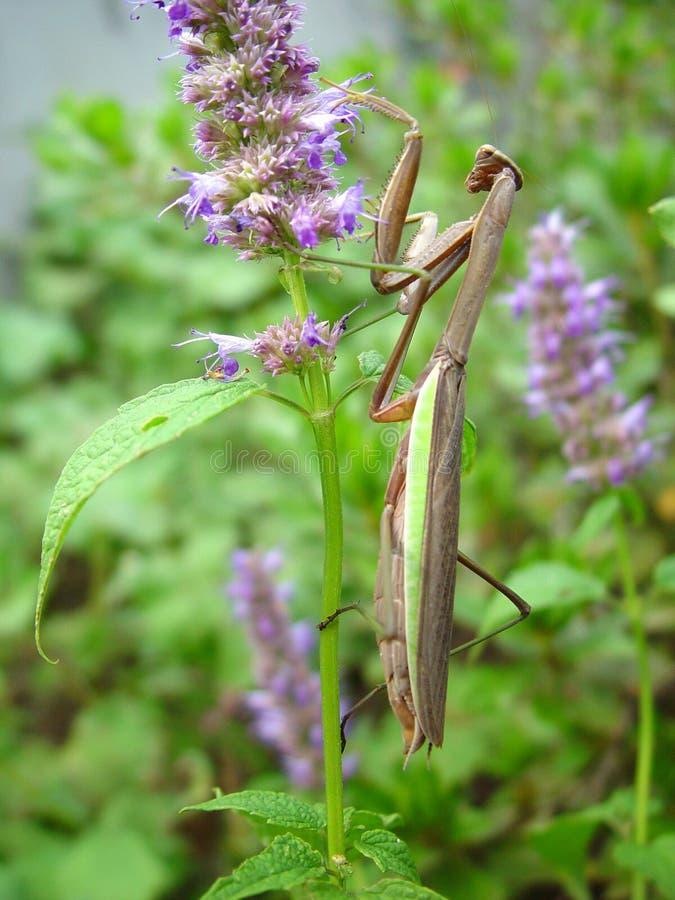 белизна mantis предпосылки моля стоковые фотографии rf