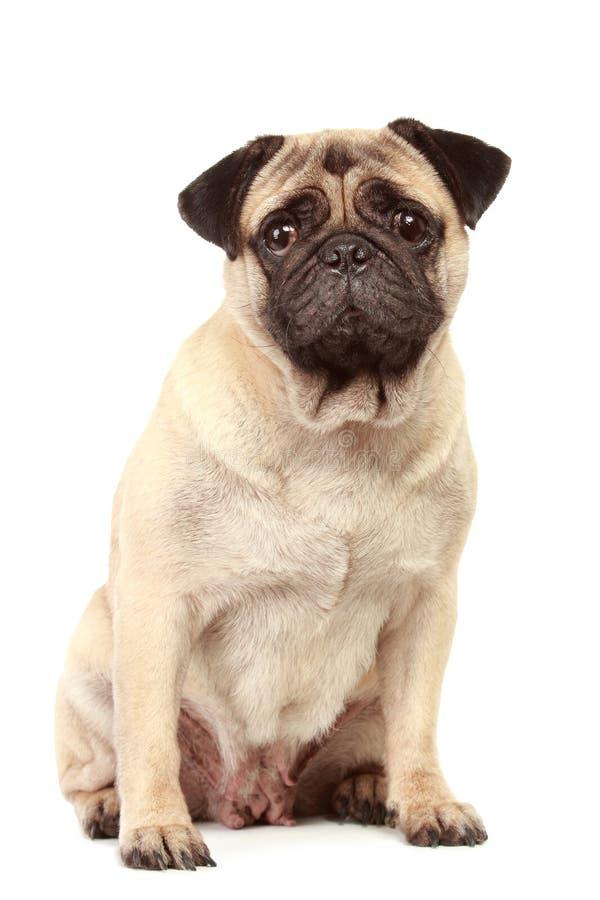 белизна pug собаки предпосылки стоковое изображение rf