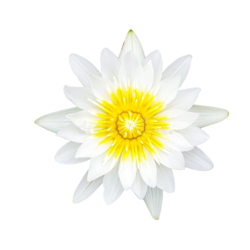 Белизна waterlily или цветок лотоса стоковое фото