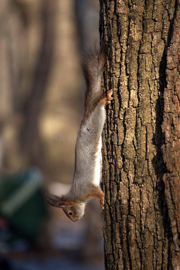 Белка бежит вниз на стволе дерева стоковые фото