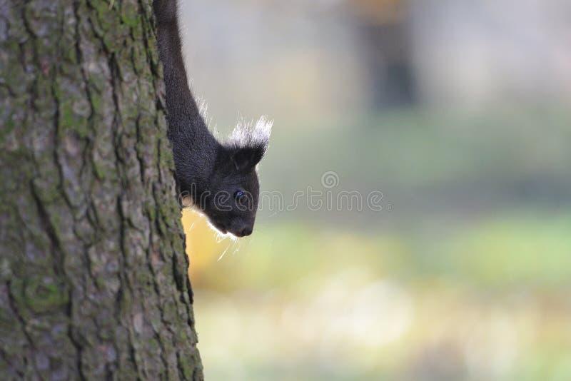 Белка Брайна на дереве стоковое изображение rf