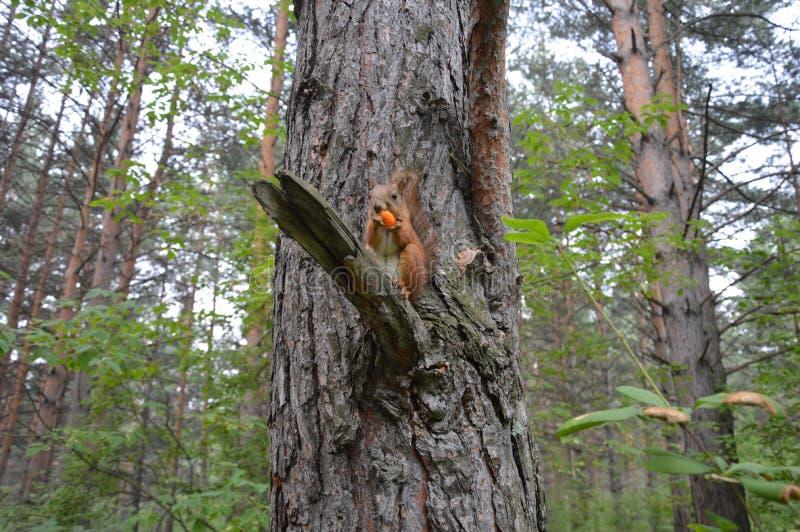 Белка в сибирском лесе стоковая фотография rf