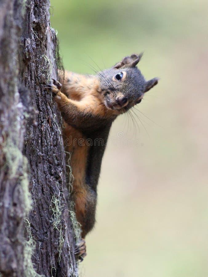 Белка Дугласа на стволе дерева стоковая фотография rf