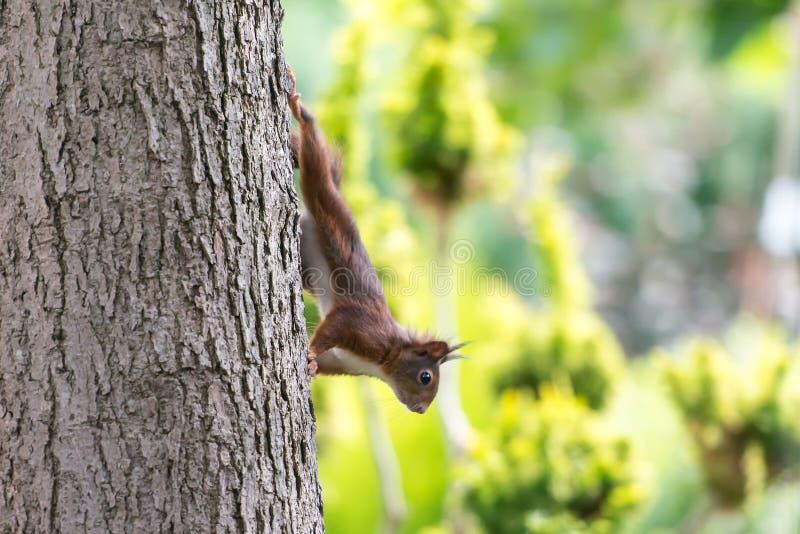 Белка идет вниз с дерева стоковое фото rf