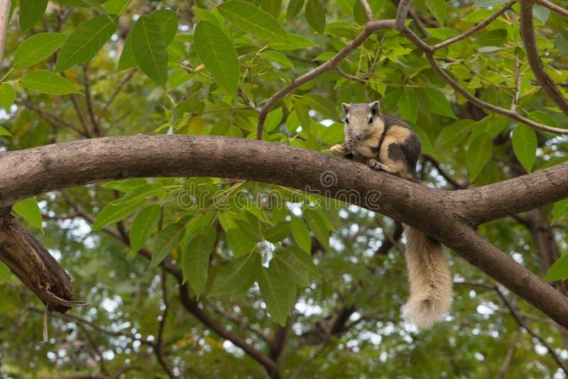 Белка Таиланда малая на дереве есть гайку (белку, лес) стоковые фото