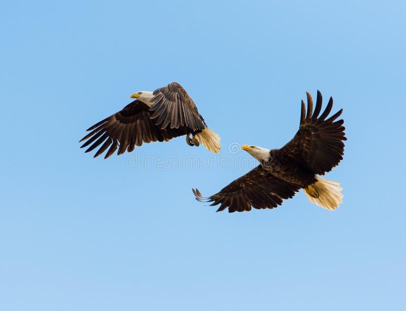 Белоголовые орланы в полете стоковые изображения rf