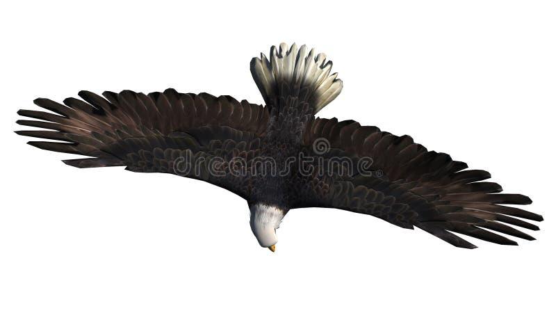 Белоголовый орлан в мухе - белой предпосылке иллюстрация штока