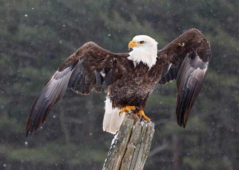 Белоголовый орлан при протягиванные крыла стоковое фото rf