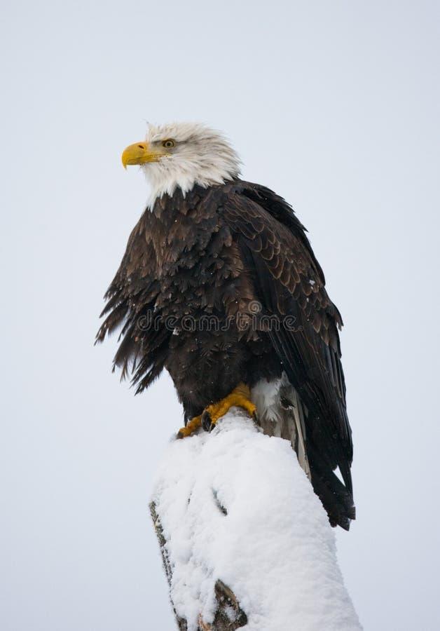 Белоголовый орлан садить на насест на ветви дерева США albacore Река Chilkat стоковое изображение