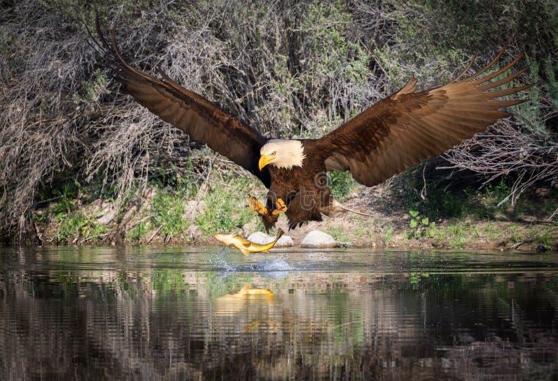 Белоголовый орлан улавливая рыбу стоковые фотографии rf