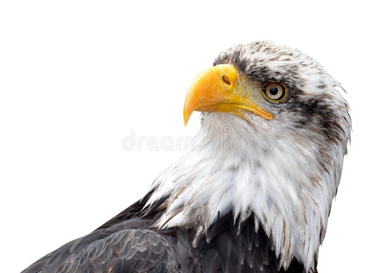 Download Белоголовый орлан стоковое изображение. изображение насчитывающей тварь - 33728059