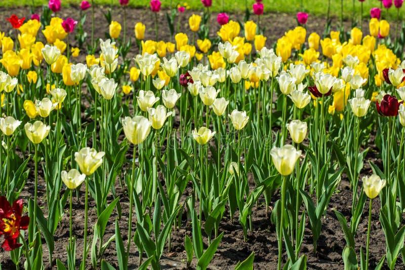 Белое и желтое поле тюльпана стоковое изображение