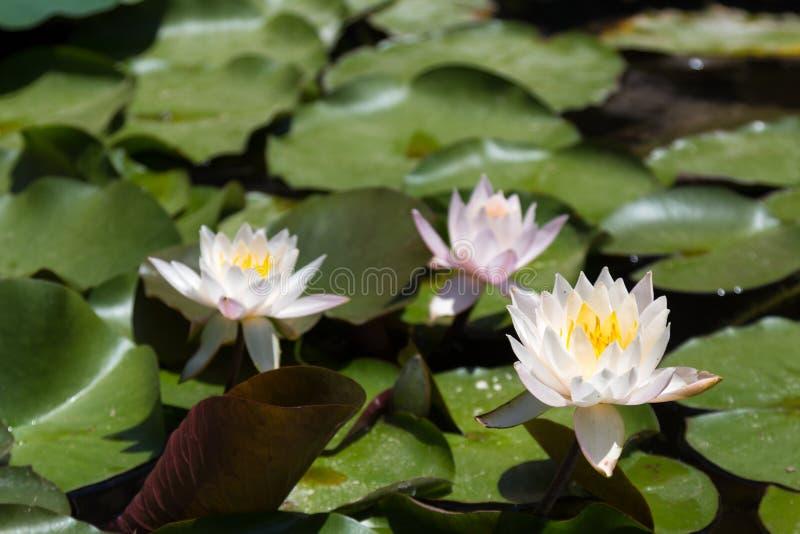 3 белое и розовые лилии в пруде стоковое фото