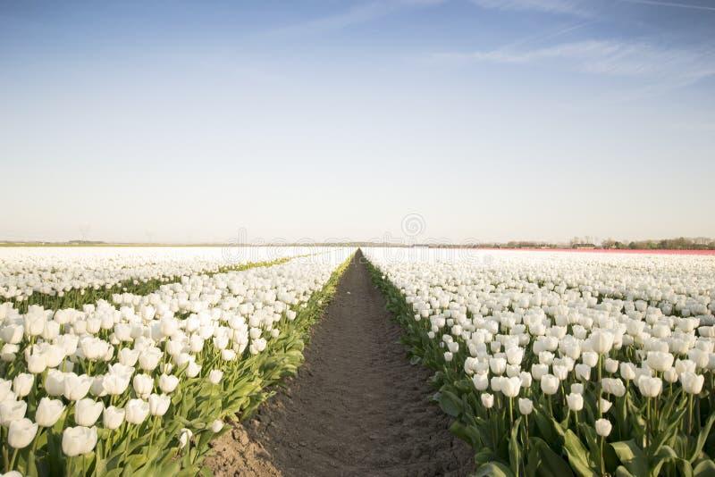 Белое поле i тюльпана стоковое фото rf