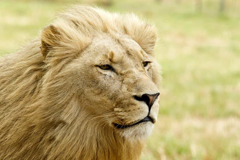 Лев вытаращиться стоковое фото