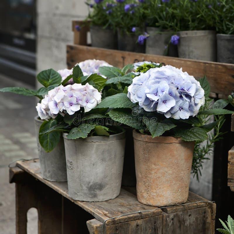 Белое, розовое и фиолетовое, фиолетовое macrophylla гортензии стоковая фотография rf