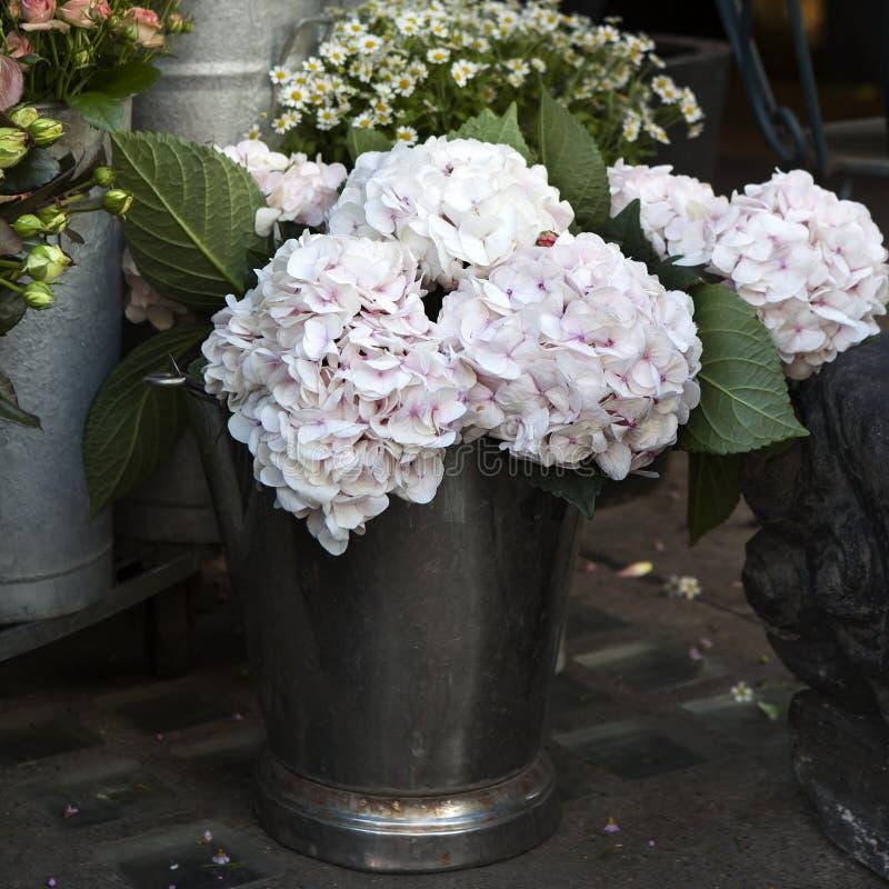 Белое, розовое macrophylla гортензии стоковые фото