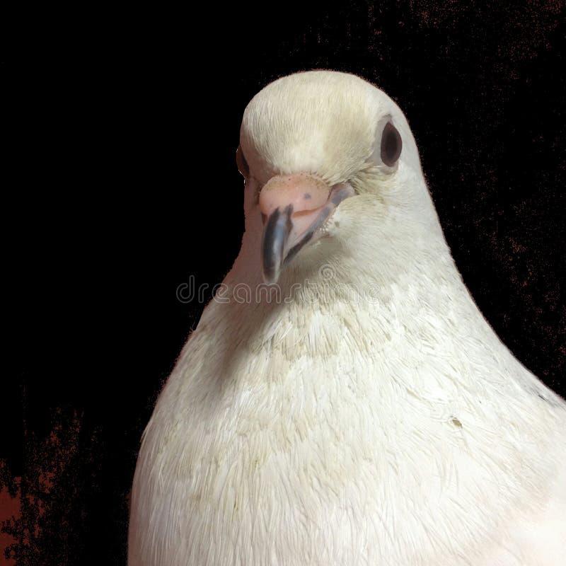 белое фото голубя с черной предпосылкой стоковая фотография