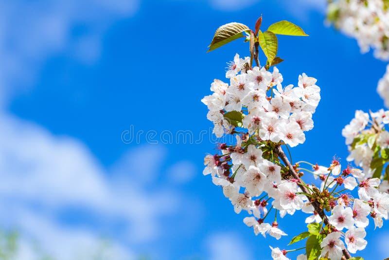 Белое цветение против голубого неба стоковые фотографии rf